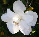 Double white hibiscus