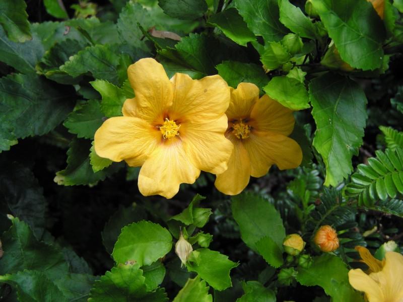 Yellow Ilima, Sida fallax