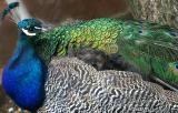 Peacock at Launceston tea shop