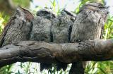 Family of four tawnie frogmouths