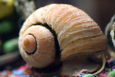 water snail.jpg