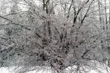 apple tree iced.jpg