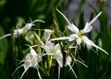 Cahaba Lily (Hymenocallis coronaria)