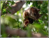 Rat up a tree