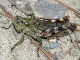 Grizzled spur-throated grasshopper - Melanoplus punctulatus
