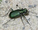 Six-Spotted Tiger Beetle  -Cicindela sexguttata