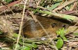 Meadow Jumping Mouse - Zapus hudsonius