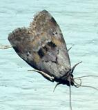 9039 -- Yellow-spotted Graylet Moth -- Hyperstrotia flaviguttata
