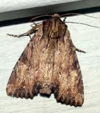 9341 -- Airy Apamea Moth -- Apamea vultuosa