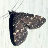 8330 -- Smoky Idia Moth -- Idia scobialis