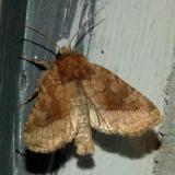 9514 -- Rosy Rustic Moth -- Hydraecia micacea