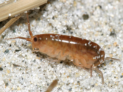 Sand flea, Amphipod - Talitridae