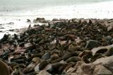 Seal colony