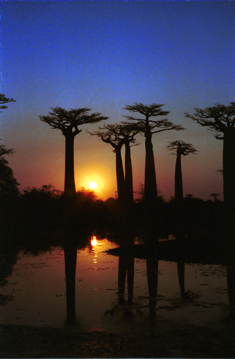 baobabs at night