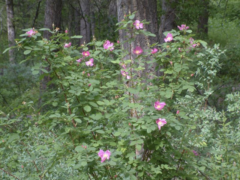 Wild Roses, East Fork, Mink Creek Trail, Pocatello, Idaho