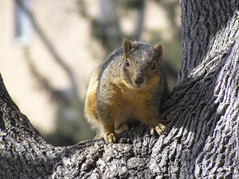 ISU Squirrel P2230047.jpg