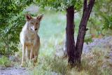 Wilma, a Zoo Coyote May 28 2001 Pocatello Idaho