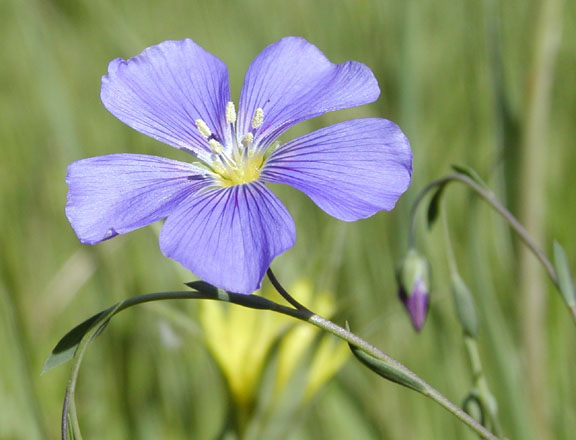 Lewis Flax or Blue Flax, Pocatello, Idaho