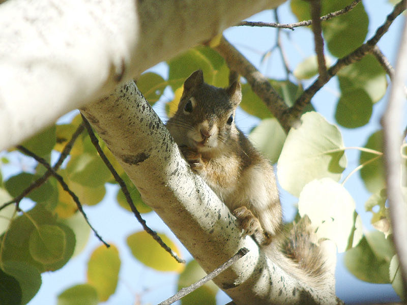 Baby Red Squirrel In Autumn 053