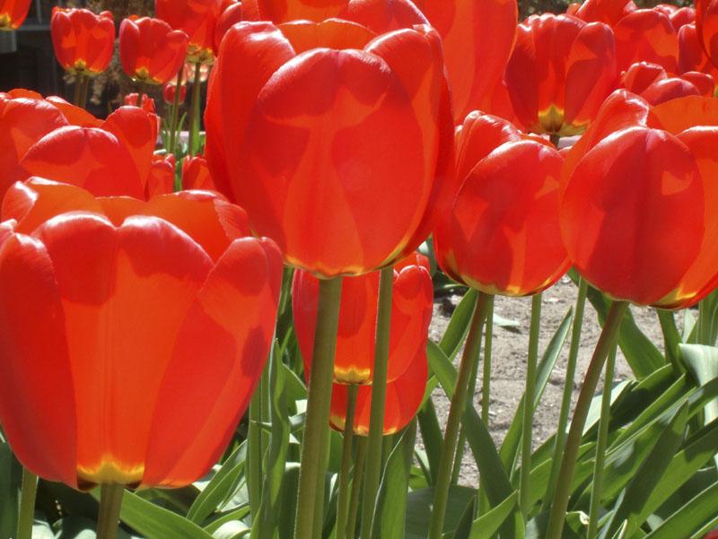 Tulips ISU PSUB DSCF0007.jpg