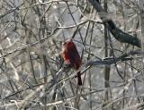 cardinal_cs.jpg