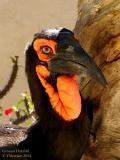 Ground Hornbill Portrait