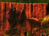 Madagascar Hissing Roaches