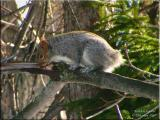 Squirrel With No Tail