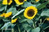 sunflower-a.jpg