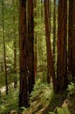 Young Redwoods in Muir Woods 1002px JPG 9.jpg