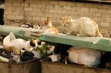 Cats in the dumpsters, Sidon