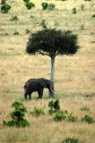 My first elephant in the Mara