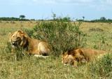 2 male lions