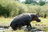 Hippo climbing out of a mud pool