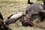 Vultures with a dead wildebeest