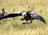 Ruppell's Vulture bouncing to the meal (Maasai Mara, Kenya)