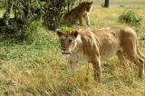Lioness walking this way