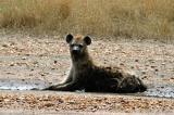 Non-radio collared hyena nearby