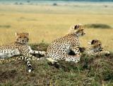 Three cheetah cubs near Governor's Camp