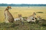 Mother cheetah and her cubs