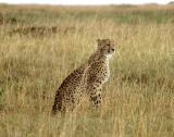 Cheetah taking a break