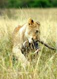 Lion cub playing with leftover warthog jaw