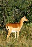 Impala, Lake Nakuru NP