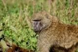 Olive Baboon (Anubis Baboon), Lake Nakuru