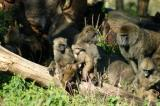 All ages of baboons