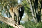 Large male olive baboon