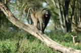Baboons have fierce teeth