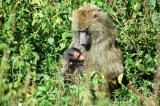 Mother baboon nursing infant