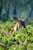Waterbuck in the bush