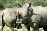 White (square lipped) Rhinos